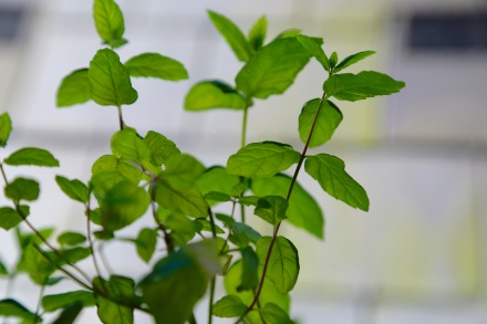 Fragile mint leaves. The Mat Movement luxury yoga retreats, online yoga classes and inspiring plant-based recipes